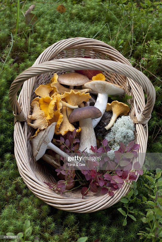 Cantharellus cibarius (chanterelle) and Boletus edulis (porcini) mushrooms