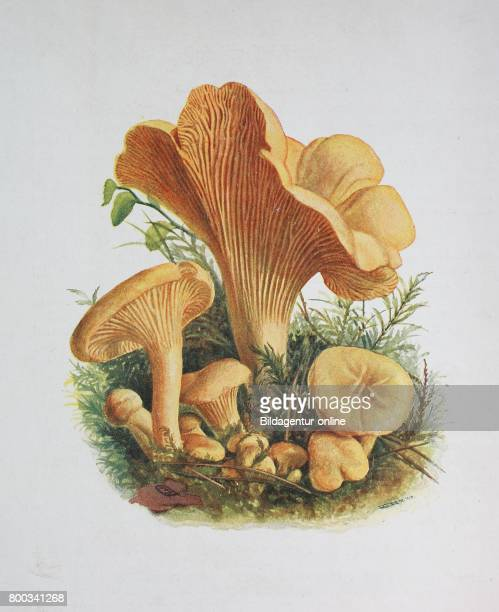 Cantharellus cibarius commonly known as the chanterelle or girolle digital reproduction of an ilustration of Emil Doerstling