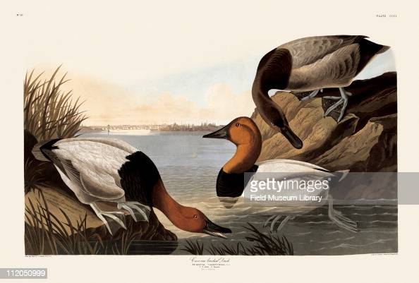 Canvasback Duck Plate 301 in John James Audubon's Birds of America late 1830s