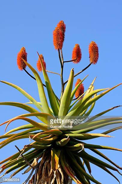 Cape Aloe (Aloe ferox), Namaqualand, South Africa, Africa
