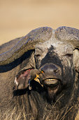 Cape Buffalo and Red-billed oxpecker