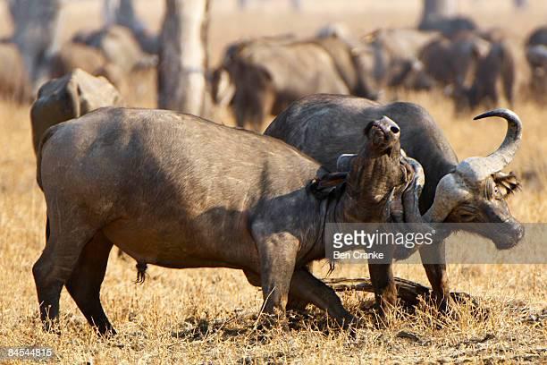 Cape buffalo, South Luangwa NP, Zambia