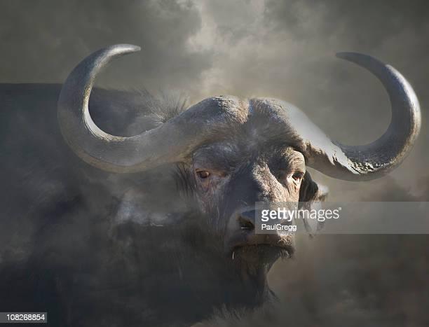 Cape buffalo syncerus caffer in Nebel