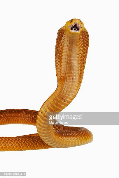 Cape Cobra (Naja nivea) rearing up with mouth open, close-up