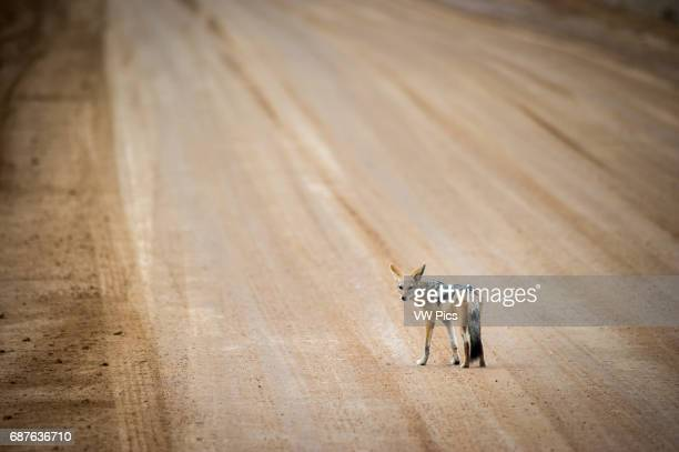 Cape Cross Namibia Blacked backed jackal standing in the middle of the road to Sossusvlei