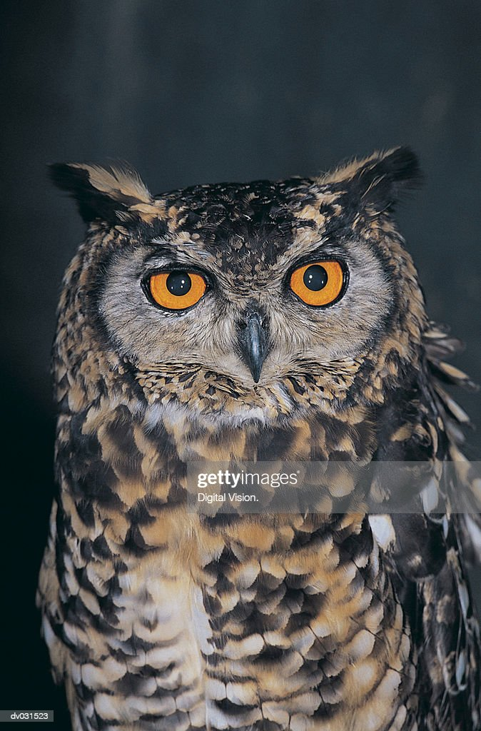 Cape Eagle Owl (Bubo capensis), South Africa : Stock Photo