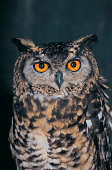 Cape Eagle Owl (Bubo capensis), South Africa