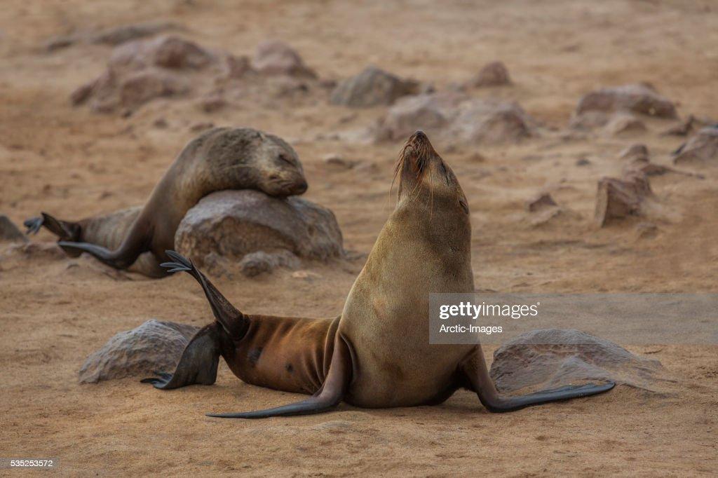 Cape Fur Seals on beach, Skeleton Coast, Namibia, Africa