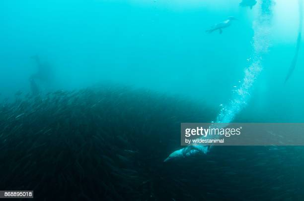 Cape gannets dive into a sardine bait ball during the sardine run off the east coast of South Africa.