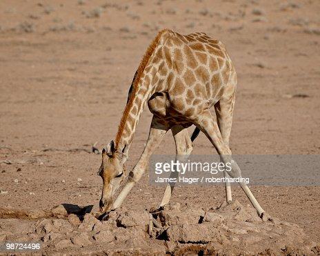 Cape giraffe (Giraffa camelopardalis giraffa) drinking, Kgalagadi Transfrontier Park, South Africa