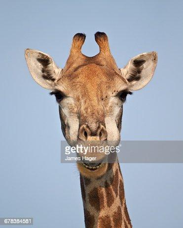 Cape giraffe (Giraffa camelopardalis giraffa), Kruger National Park, South Africa, Africa