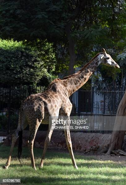 A Cape giraffe or South African giraffe is seen in an enclosure at the Giza zoo in Cairo on November 23 2016 Isma'il Pasha the ruler of Egypt from...