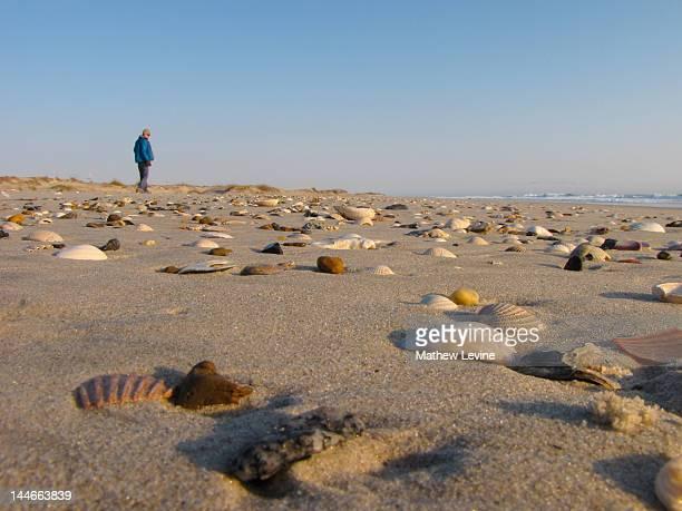 Cape Hatteras seashells