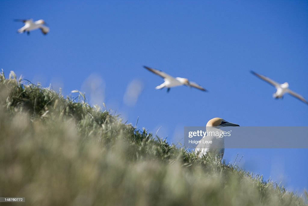 Cape Kidnappers Gannet Colony. : Stock Photo