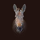 Colour portrait of a Cape Mountain Zebra