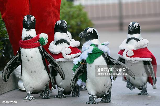 Cape penguins also known as African or jackass penguins dressed in Christmas costumes walk beside guests during a Christmas event at the Hakkeijima...