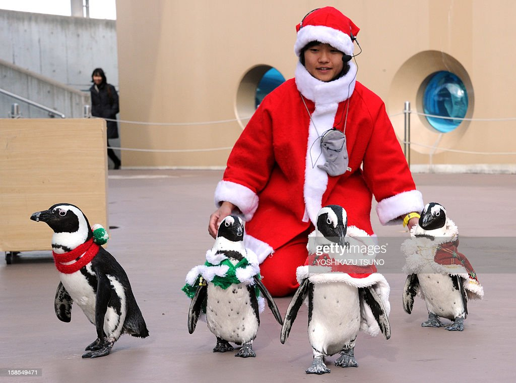 Cape penguins and an aquarium keeper (C) dressed in Christmas themed costumes take part in a Christmas event at the Hakkeijima Sea Paradise aquarium in Yokohama, suburban Tokyo on December 19, 2012. A Christmas show will be held daily to attract visitors until Christmas Day. AFP PHOTO / Yoshikazu TSUNO
