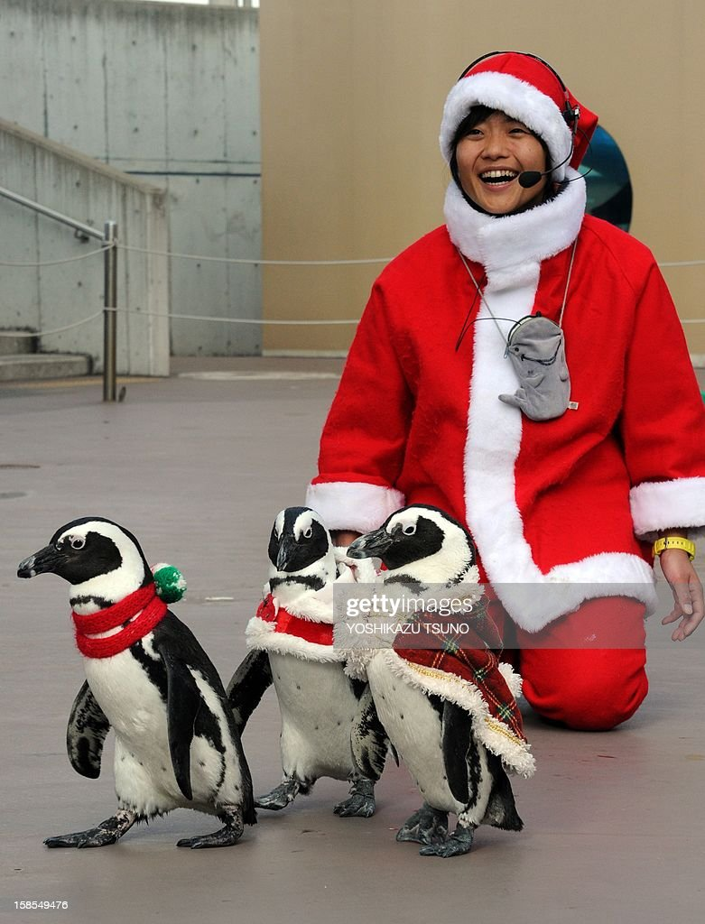 Cape penguins and an aquarium keeper (R) dressed in Christmas themed costumes take part in a Christmas event at the Hakkeijima Sea Paradise aquarium in Yokohama, suburban Tokyo on December 19, 2012. A Christmas show will be held daily to attract visitors until Christmas Day. AFP PHOTO / Yoshikazu TSUNO