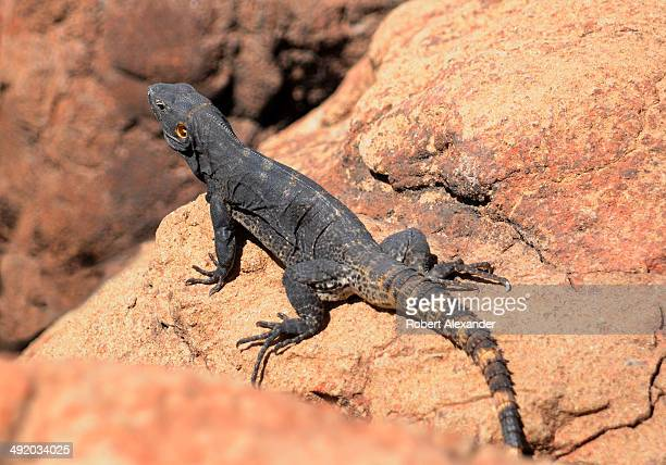 Cape Spinytailed Iguana pauses on a rock at the ArizonaSonora Desert Museum in Saguaro National Park near Tucson Arizona