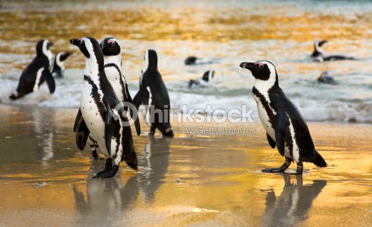 Cape Town Peguins swimming : Stock Photo