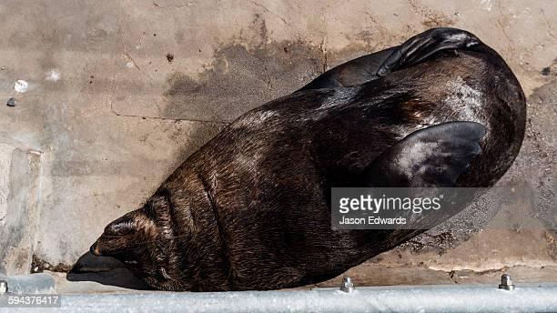 A Cape Fur Seal sleeping in the sun at a wharf.