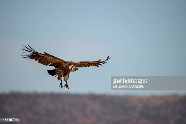 A Cape Vulture spreads its wings as it flies low at the VulPro Vulture Rehabilitation Centre in Hartebeepoortdam in the Magalisburg region on...