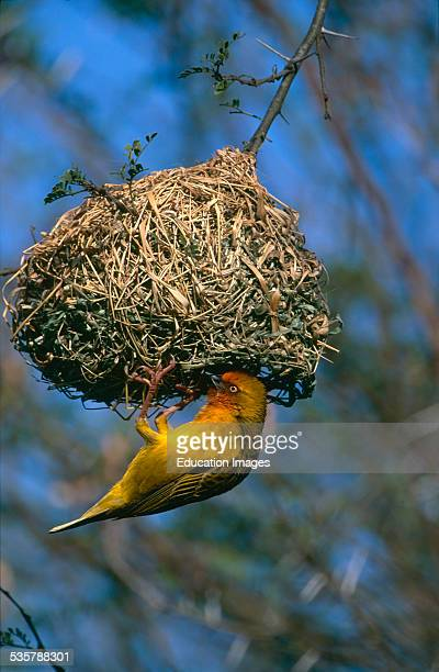Cape Weaver Ploceus capensis fixing up its nest Bontebok National Park South Africa This weaver builds a large coarsely woven nest made of grass and...