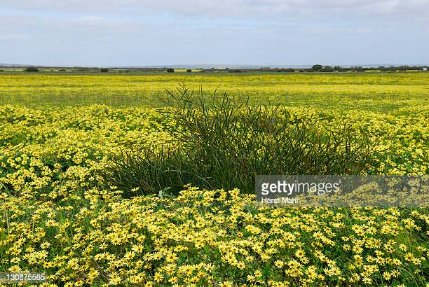 Cape Weed or Cape Dandelions (Arctotheka calendula) growing on a meadow in Western Australia, Australia