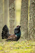 Capercaillie in Lithuania forest, Varena district