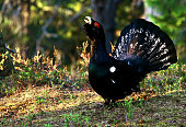 Capercaillie (Tetrao urogallus) displaying in wood of Finland