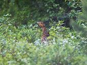 capercaillie female in summer, taken in norway