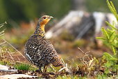 beautiful capercaillie hen on mountain forest ( Tetrao urogallus, female )