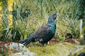 Capercaillie (Tetrao Urogallus) in the nature