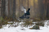 Capercaillie, Tetrao urogallus, single male in snowy forest displaying at lek, Finland, April 2013