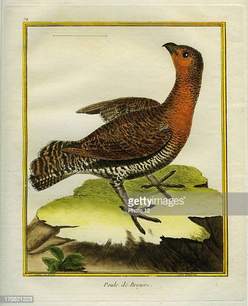 Capercaillie Tetrao urogallusCapercaillieGeorgesLouis Leclerc Comte of Buffon 'Natural History of birds fish insects and reptiles' coloured and...