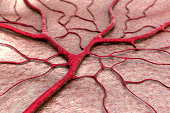 circulatory system, blood vessel