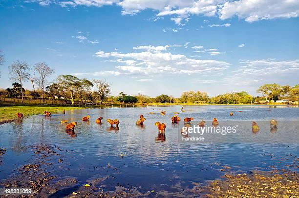 Capivaras no Lago - Capybara on Lake