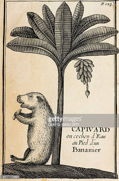 Capivard or water pig at the foot of a banana tree engraving from A Voyage report of Mr De Gennes France 17th century