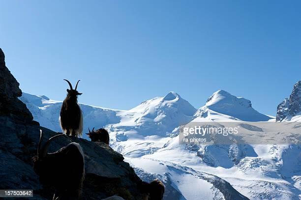 Steinbock in den Schweizer Bergen