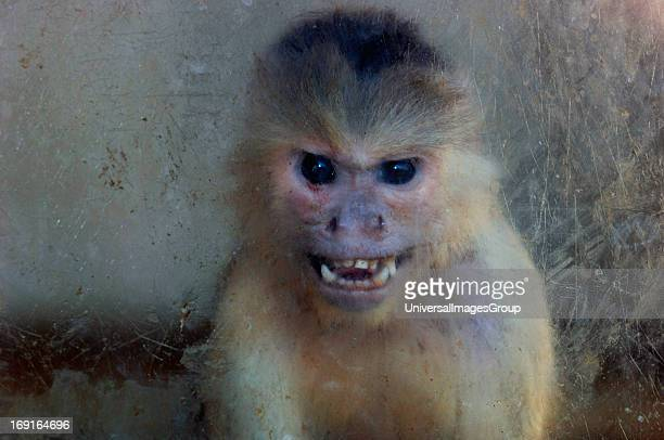 A Captive Capuchin MonkeyLooking Thru A Perspex Window