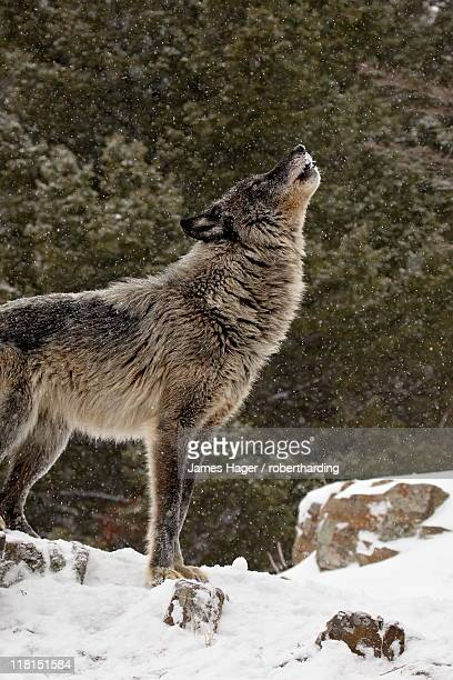 Captive gray wolf (Canis lupus) howling in the snow, near Bozeman, Montana, United States of America, North America