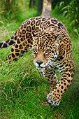 Stunning portrait of jaguar big cat Panthera Onca prowling through long grass in captivity