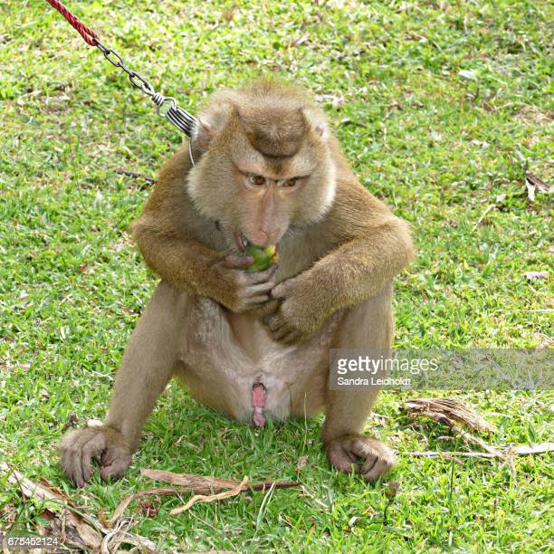 Captive Pigtailed Macaque in Ko Samui, Thailand