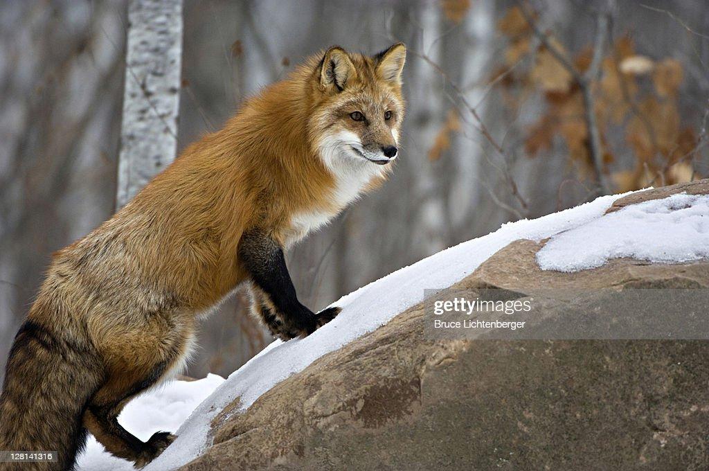 Captive Red fox, Vulpes vulpes. December. Northern Minnesota. USA : Stock Photo