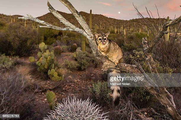 Captive ringtail (Bassariscus astutus) at sunset, Arizona Sonora Desert Museum, Tucson, Arizona, United States of America, North America