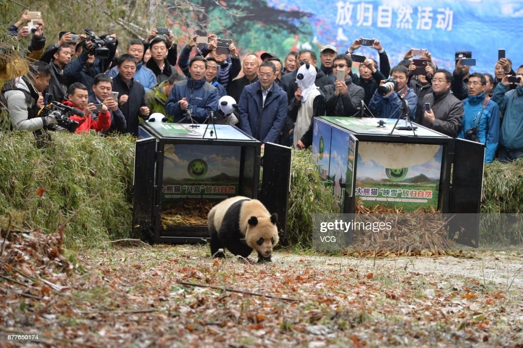 Giant Panda Pair Released Into The Wild In Ya'an