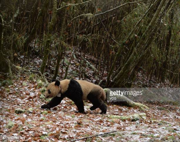 YA'AN CHINA NOVEMBER 23 Captivebred pair the male panda Ba Xi and the female panda Ying Xue walk into the forest out of the cage after being released...