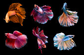 6 capture moving moment siamese fighting fish isolated on black background. Betta fish