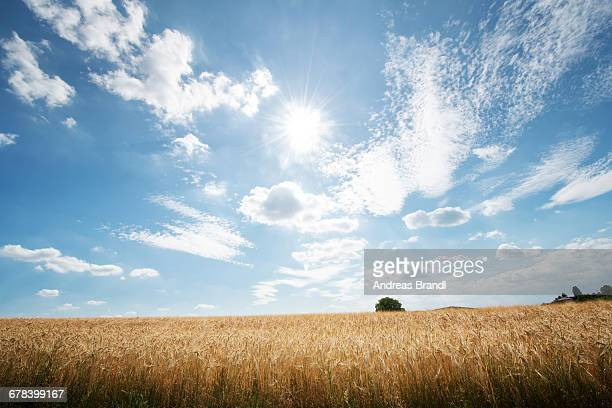 HDR capture of rye fields with a big sky, Baden-Wurttemberg, Germany, Europe