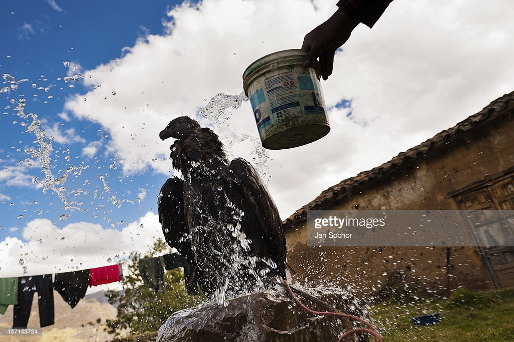 A captured Andean condor being washed before the Yawar Fiesta, a ritual fight between the condor and the bull, held in the mountains of Apurímac on 28 July 2012 in Cotabambas, Peru. The Yawar Fiesta (Feast of Blood), an indigenous tradition which dates back to the time of the conquest, consists basically of an extraordinary bullfight in which three protagonists take part - a wild condor, a wild bull and brave young men of the neighboring communities. The captured condor, a sacred bird venerated by the Indians, is tied in the back of the bull which is carefully selected for its strength and pugnacity. A condor symbolizes the native inhabitants of the Andes, while a bull symbolically represents the Spanish invaders. Young boys, chasing the fighting animals, wish to show their courage in front of the community. However, the Indians usually do not allow the animals to fight for a long time because death or harm of the condor is interpreted as a sign of misfortune to the community.